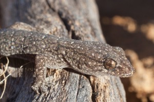 Gehyra_variegata,_Sturt_National_Park_NSW_Australia,_June_2012