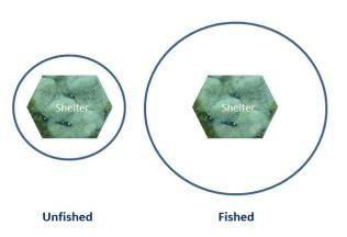 The extent to which prey fish will range from shelter (blue line) in fished (lower predator density) and unfished (higher predator density) areas. Photo: Belinda Fabian.