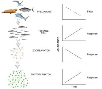 Example of a food web and the responses of lower trophic levels to a reduction in the number of top-level predators  (Cury et al. 2001).