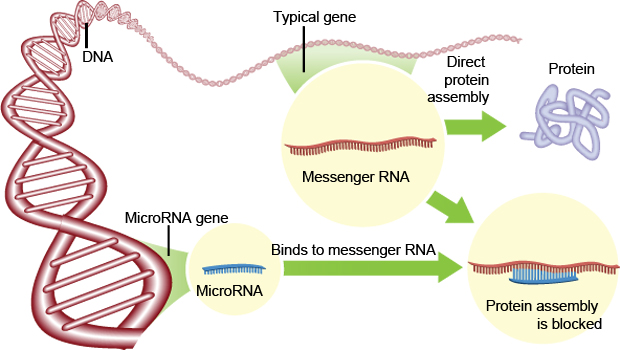 Process of how miRNAs can reduce the production of proteins in a cell  (Image: Steve Karp, Discover Magazine)