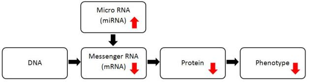 Inhibitory cascade initiated by upregulation of miRNA (adapted from image presented by Associate Professor Yang)