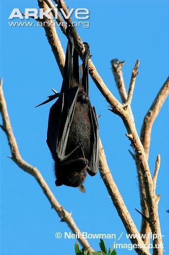 Figure 2. The Black Flying Fox, Pteropus alecto.