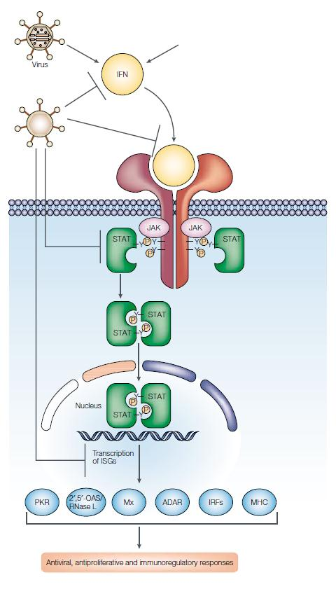 Figure 3. Interferon signaling cascade - causes expression of immune system genes and creates an antiviral state in cells (Katze et al. 2002).