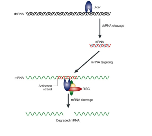Figure 3. siRNAs degrade messenger RNA so it can't be translated into protein (McManus & Sharp 2002).