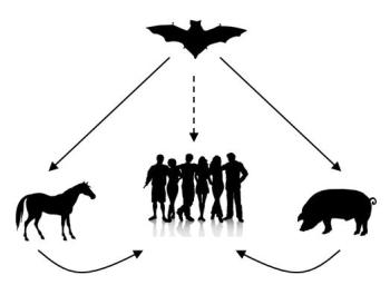 Figure 1. Possible virus transmission routes from bats to humans. (adapted from image presented by Dr Michelle Baker)